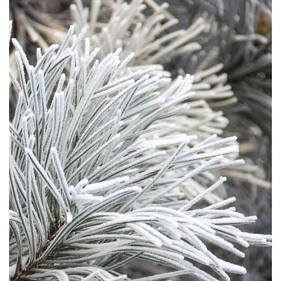 yodeyma white cedar