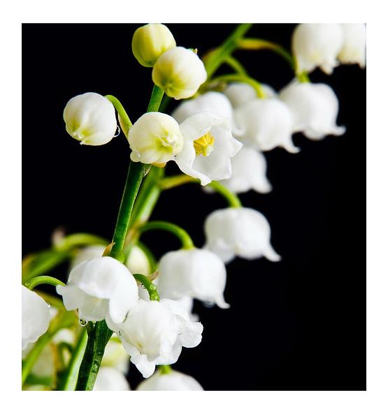 yodeyma mayflower